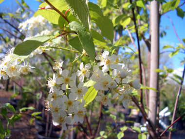 Prunus virginiana 'Canada Red' - Canada Red ChokecherryAn oval to rounded tree that turns from bright green in the spring to deep purple in the summer and fall. Pendulous clusters of white flowers, with growth to 25 ft. tall x 20 ft. wide.