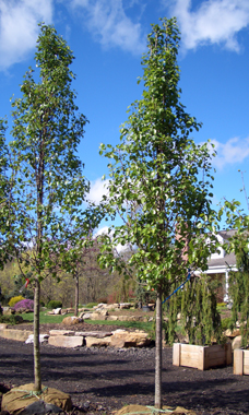 Pyrus calleryana'Cleveland Select' - Cleveland Select Flowering PearWidely preferred variety over the Bradford Pear, upright pyramidal shape with symmetrical branching, profuse white blooms, glossy dark green foliage and reddish-purple fall foliage.