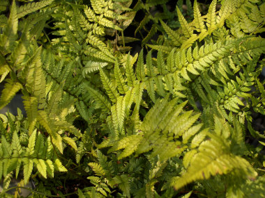 POLYSTICHUM acrostichoides Christmas Fern or Korean Rock Fern - Semi-evergreen fern. Grow in full to partial shade. Height to 24