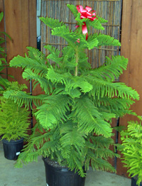 Norfolk Island Pine decorated with a red holiday bow