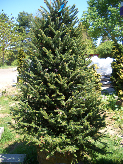 Abies fraseri - Fraser FirPrefers a cool climate with well drained soil. Grow in full sun to partial shade. Grows to 50 feet tall x 25 feet wide. Zone 4 to 7. Name honors Scottish botanist John Fraser, who discovered this tree and introduced it to the UK.
