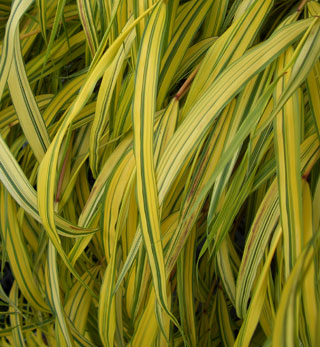HAKONECHLOA macra 'Aureola' Golden-variegated Japanese Forest Grass - Grows in partial shade to full sun. Leaves are bright yellow with green stripes that change to red in the fall. Grows to 16