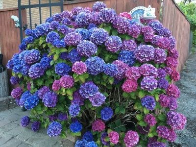 The Pacific Northwest is quite favorable for Hydrangeas!
