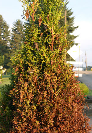 """Notice the """"bags"""" on this arborvitae. Bagworms lose their camouflage and become much more noticeable as these bags turn brown. Unchecked infestations will lead to rapid plant demise."""