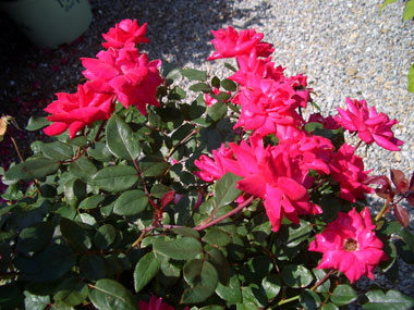 Roses - Shrub RosesNot quite shrubs and not quite roses. A local nurseryman friend tells us every garden should have at least one of these dependable, repeat blooming roses.WHAT GIVING A CERTAIN COLOR ROSE MEANS