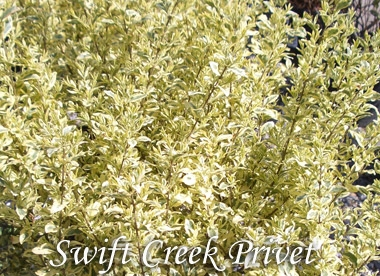 LIGUSTRUM sinense 'Swift Creek' - Swift Creek Variegated PrivetHardiness zone 6 to 9. Variegated green leaves with creamy white edges. Growth 5 ft tall x 5 ft wide. Grow in full sun to partial shade. Deer resistant and tolerates drought.