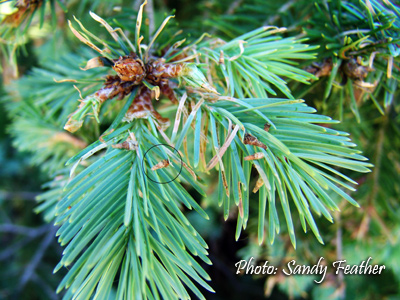 Circled Area in photo: This is the best stage (early) to treat bagworms on this Douglas fir