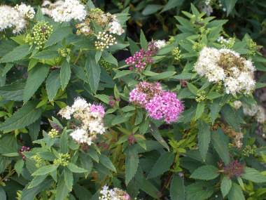 Spiraea japonica 'Shirobana' - Little Princess SpireaBlooms in summer with pink and white flowers on the same plant. Growth to 3 ft across x 3 ft tall. Deer-resistant just like most other Spireas.