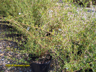 Forsythia suspensa - Weeping ForsythiaSpreading form of the taller forsythia, bring bright yellow flowers in spring! Plant where they have room to spread. Deer resistant. Growth to 5 ft tall x 10 ft wide in full sun to partial shade.