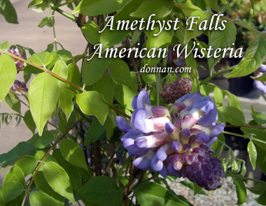 WISTERIA frutescens 'Amethyst Falls' Amethyst Falls American Wisteria - Slower growth than traditional Wisteria makes it ideal for small spaces. Mildly fragrant purple blossoms. Full sun to partial sun, blooms most in late spring with growth to 10 feet.