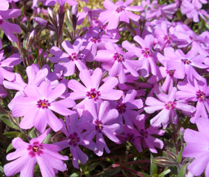phlox-fort-hill.jpg