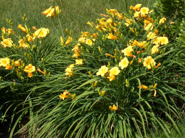HEMEROCALLISStella d'Oro Daylily - Very popular daylily, with repeat blooming from June to frost.