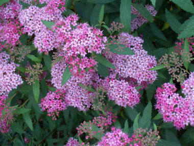Spiraea x 'Bumalda' - Anthony Waterer SpireaPink flowers in summer. Growth to 5 ft across x 3 ft tall. More open growth habit than Little Princess.