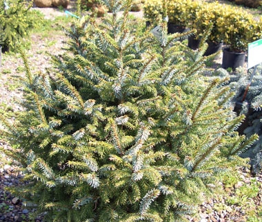 Picea omorika 'Nana' - Dwarf Serbian SpruceThis compact, slow growing evergreen has dark green needles with silver bands. Tolerates urban conditions well.
