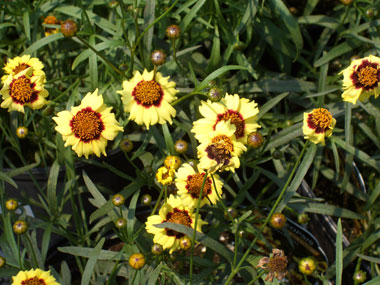 COREOPSIS 'Autumn Blush'Autumn Blush - Peach-yellow flowers with red eyes, blooms all summer. Full sun with growth to 24-inches tall.