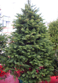 Noble Fir   Abies procera