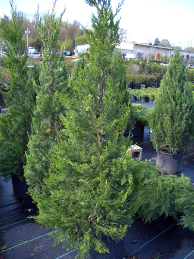 Juniperus chinensis 'Hetzii Columnaris' - Green Columnar JuniperUpright, pyramidal evergreen with bright green foliage on dense branches. Versatile, natural or shaped, used as an evergreen screen, singularly, or as a specimen for topiary. Grow in full sun. Zone 4 to 9.