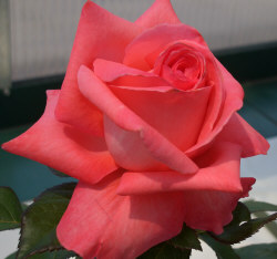 Coral Rose - Coral roses are given to express desire.