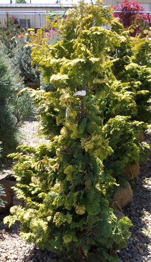 Chamaecyparis obtusa'Aurea' - Golden Hinoki FalsecypressPyramidal evergreen with drooping gold and dark green foliage. Slow growth to 40 ft tall x 15 ft wide.