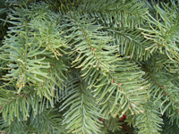 Noble Fir foliage