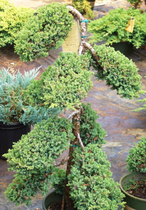 Juniperus procumbens 'Nana' - Japanese Garden Juniper (Pom Pom)A dependable variety of spreading juniper trained and trimmed into a Pom-Pom. Excellent!