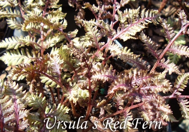 ATHYRIUM niponicum var. pictumUrsula's Red Fern - Prefers a shady, sheltered location with rich soil kept evenly moist. Best color in light shade. Grows 12 to 18 inches tall and wide.