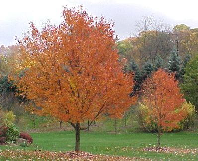 Acer rubrum 'October Glory' - October Glory MapleGood lawn tree with orange, red and yellow fall color. Moderate to fast growth to 50 ft. height with 35 ft. width.