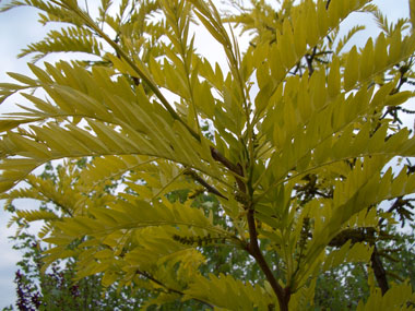Gleditsia triacanthos 'Sunburst' - Sunburst HoneylocustGrow in full sun to partial shade. Leaves emerge yellow then turn light green. Moderate rate of growth to 60 ft. tall x 40 ft. wide. Open, spreading branches, with no thorns or pods.