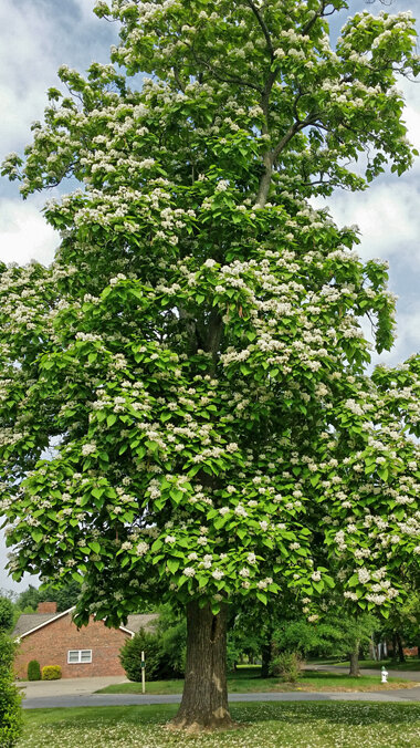 "Catalpa speciosa - CatalpaGrows to 40-70' with an irregular crown. Leaves up to to 12"" long are pointed at the tips. Catalpa trees in flower can be 'showstoppers' with orchid-like white flowers up to 2"" long, appearing in panicles in late Spring. Seedpods, produced every 2 to 3 years, are over one-foot (12"") long mature in the Fall to dark brown, giving rise to the nickname ""Cigar Tree."""