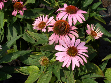 ECHINACEA purpureaConeflower - The most common varieties have pink daisy-like flowers through the summer months. Coneflowers also include purple and white flowered varieties.