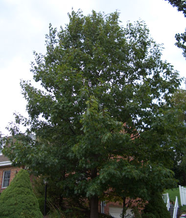 Quercus rubra - Northern Red OakOne of the faster growing oaks. Can be planted as an ornamental shade tree if you have the space. Moderate growth to 90 ft. tall x 70 ft. wide. Deep red fall leaf color.