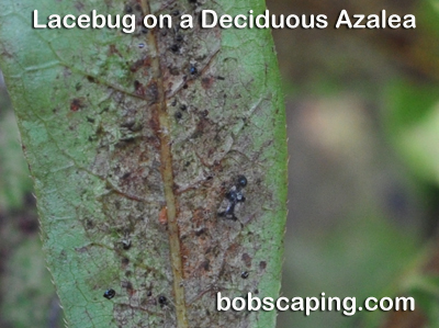 Lacebug damage