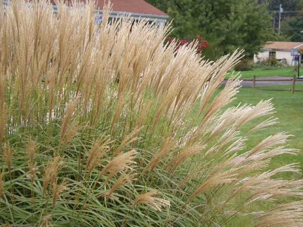 Ornamental grasses should be cutback once they are fully dormant, sometime between Thanksgiving and the emergence of new Spring growth.