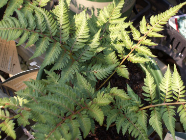 ATHYRIUM nipponicumJapanese Painted Fern - Eye-catching fern due to its tri-colored fronds. Grows 10 to 20