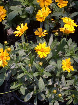 COREOPSIS 'Jethro Tull'Jethro Tull Coreopsis - Golden-yellow blooms with growth to 15-inches tall. Compact plant best in full sun to part shade.