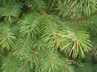 Douglas Fir foliage