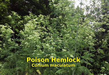 By early June, Poison Hemlock can easily reach 8-feet tall (2.4 meters)