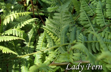 ATHYRIUM filix-feminaLady Fern - Prefers shade and rich, well-drained soil in a sheltered location. Hardiness zone 4 to 8. Rabbit tolerant. Grows 1 to 3 feet tall with similar spread.