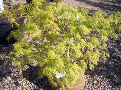 Acer palmatum dissectum 'Viridis' - Viridis Japanese MapleBright green, finely cut leaves turn gold and crimson in Fall. Small tree with graceful weeping habit, an excellent accent under large trees. Prefers partial shade. Zone 5 - 8.