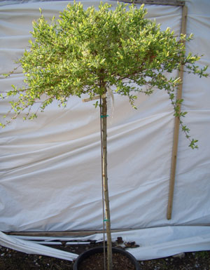 Salix integra 'Hakuro Nishiki' - Nishiki Dappled Willow on StandardFrequent trimming creates the best tri-colored foliage of green, pink and white on new growth. Growth can be rapid and vigorous to 6 ft wide x 12 ft tall on this grafted version of the plant. Best in partial sun. Will tolerate wet areas.
