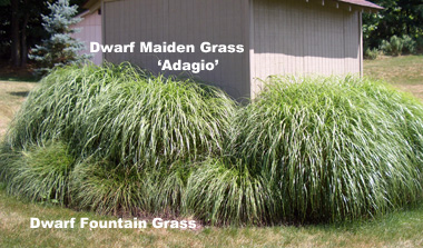 MISCANTHUS sinensis 'Adagio' Dwarf Maiden Grass - Grow in full sun. Slightly smaller than regular Maiden Grass. Produces an abundance of narrow tan plumes. Height 4 to 5 feet. One of Bob's favorites!