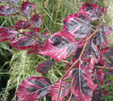 Fagus sylvatica 'Tricolor' - Tricolor BeechPopular for its colorful variegated leaf with pink and cream coloration on the margins. Most beeches tend to be thin and narrow when young, filling out with age. Be sure to allow room for future growth. Slow growth to 50 ft.