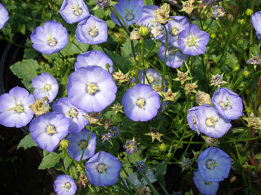CAMPANULA carpatica 'Samantha'Blue Clips Samantha - Grows in low spreading mound to 10-inch height. Mildly fragrant violet-blue flowers from May thru September. Sun to partial shade.