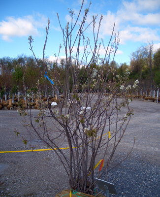 Amelanchier x grandiflora 'Autumn Brilliance' - Autumn Brilliance® Apple ServiceberryDeciduous small tree with clusters of white flowers in Spring becoming small fruits used in jellies and jams. Orange-red fall color. Disease resistant. Grow in full sun to partial shade. Zone 4 - 9.