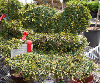 Arborvitae trimmed into a Butterfly - 'Emerald Green' Arborvitae