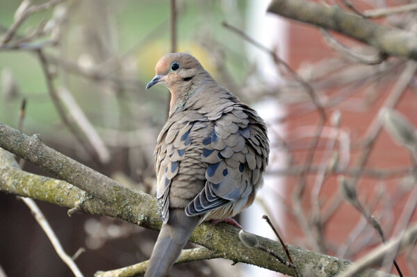 Mourning Dove -
