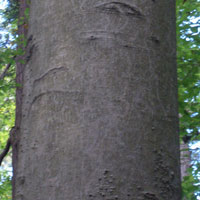 Beech - Beech is heavy, hard, and strong wood with good heat value. It is reddish brown in color and straight grained with a close uniform texture. Extremely smooth bark makes it easy to identify Beech trees.