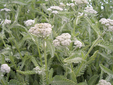 ACHILLEA 'Moonshine'Yarrow - Silver foliage with yellow flowers through summer.