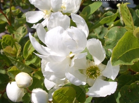 EXOCHORDA hybrid 'Snow Day®' - Snow Day® Surprise Pearl-bushLarge white flowers cover the shrub in spring. Growth to 4 ft tall x 4 ft wide. Grow in full sun to partial shade. Hardiness zones 4 to 8. Prune right after flowering.