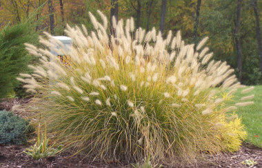 PENNISETUM alopecuroides'Hamelin' Dwarf Fountain Grass - Plant in full sun. Compact growing grass. Plumes appear late summer into Fall. Height 2 to 3 feet.